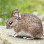 animal cute little mouse